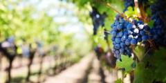 أهمية العناصر الغذائية لأشجار العنب