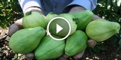 زراعة الجوافة فكرة تحويل الجوافة الصيفي الى الجوافة الشتوي