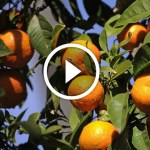 فيديو .. زراعة البرتقال وعلامات نقص العناصر الصغري الحديد الزنك المنجنيز والمغنسيوم وطرق العلاج