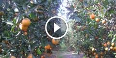 فيديو .. زراعة البرتقال برنامج التسميد فى الاراضي الصحراوية ري بالتنقيط