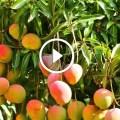 زراعة المانجو اهم المعاملات الزراعية بعد الحصاد لزيادة انتاجية المحصول