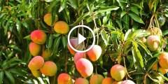 فيديو .. زراعة المانجو اهم المعاملات الزراعية بعد الحصاد لزيادة انتاجية المحصول