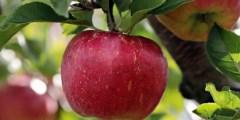 فيديو .. زراعة التفاح برنامج التسميد والعناصر الصغري ورش الزنك والري قبل شهر 10