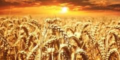 بيولوجية القمح