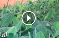 فيديو .. مشروع زراعة شتلات الموز طرق تجهيز الصوب واهم المعاملات الزراعية من الالف الى الياء