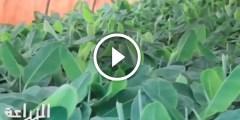 مشروع زراعة شتلات الموز طرق تجهيز الصوب واهم المعاملات الزراعية من الالف الى الياء