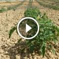 زراعة الطماطم اضرار زيادة التسميد الازوتي واهمية الاحماض الامينية لزيادة التزهير