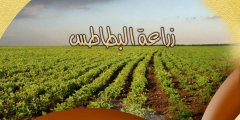 زراعة البطاطس