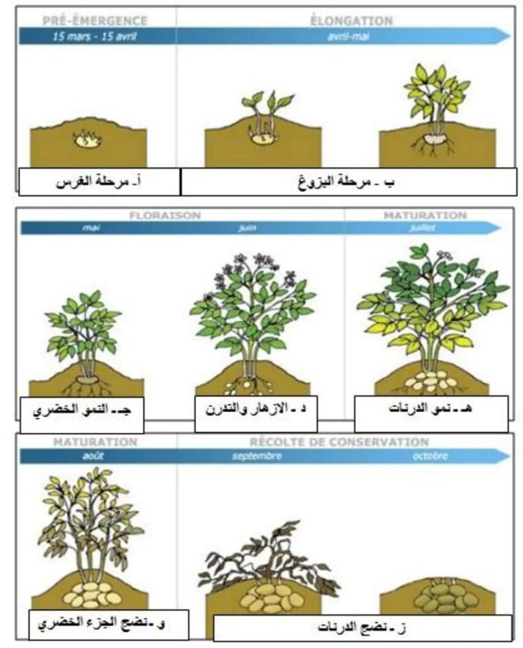 الشكل (02) : مراحل نمو وتطور نبات البطاطا