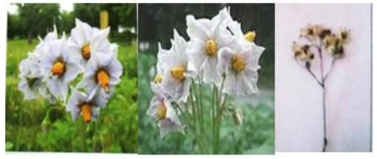 الشكل (04): صور نورة وزهرة نبات البطاطا.