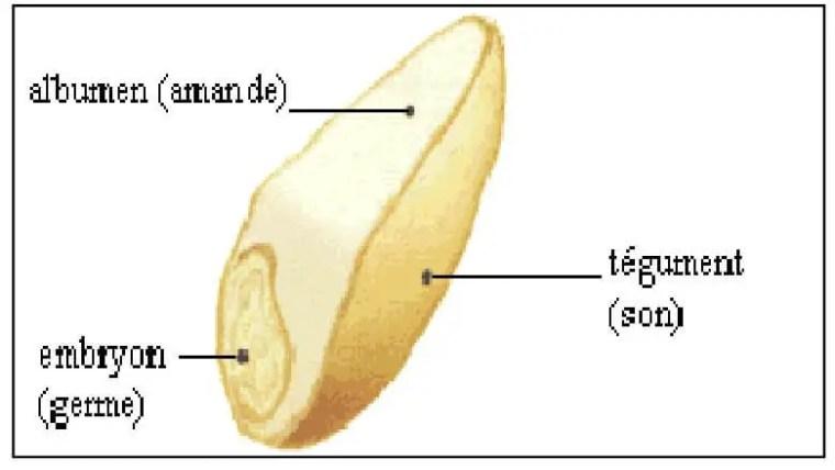 الشكل 03:التكوين النسيجي لحبة القمح (Soltner, 1998)