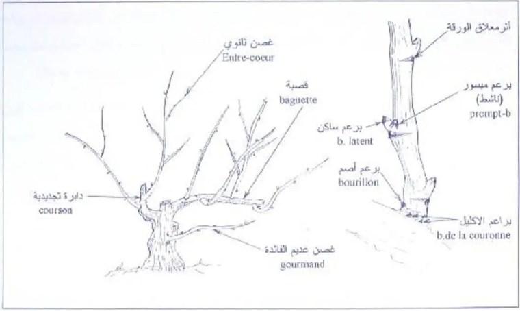 الشكل (1) : أنواع البراعم وتوضعها على الغرسة