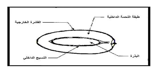 الشكل 01 : مكونات ثمرة النخيل(PEYRON, 2000)