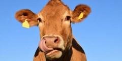 كتاب الأبقار الحلوب 2