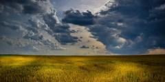 نبات القمح وعوامل الوسط