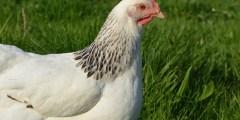 كتاب تربية الدجاج لانتاج البيض