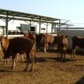الأبقار الشامية و كيفية الحفاظ عليها