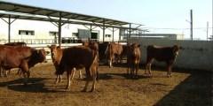 كتاب الأبقار الشامية