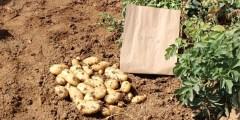 كتاب البطاطا