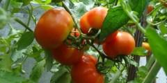 أثر الملوحة على أوراق نبات الطماطم