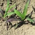 أهمية الفوسفور في النبات