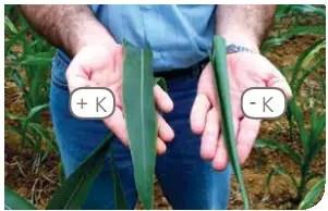 الصورة 1:لا يظهر الإجهاد الناتجعن الجفاف على أوراق نبات الذرةعند استخدام Kعلى المحصول