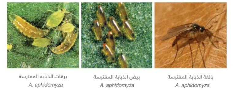 الذباب المفترس  Aphidoletes aphidomyza