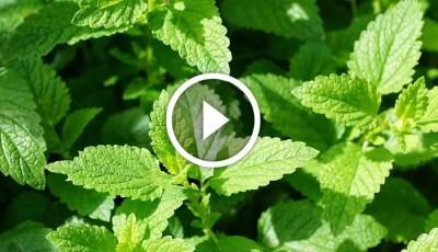 فيديو .. سر نجاح زراعة النعناع في البيت