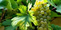 مقارنة حركية النمو والتركيب المعدني للأوراق لبعض أصناف العنب المحلية (.Vitis vinifera L)