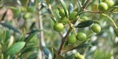 أھمیة زراعة الزیتون في الجزائر