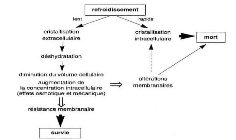 شكل (6) :آلیة فعل الجليد على الخلايا (Côme, 1992).