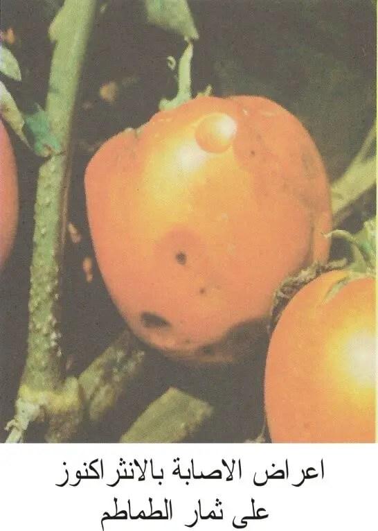 مرض إلانثراكنوز على ثمار الطماطم