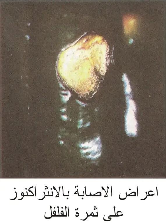 مرض إلانثراكنوز على ثمرة الفلفل