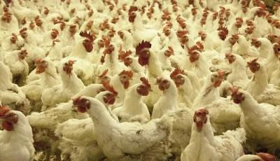 تهيئة مباني تربية الدواجن Aménagement des batiment d'élevage avicole