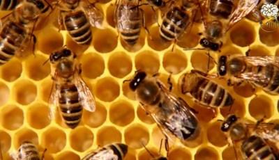 حقائق مدهشه عن النحل الكائنات الاكثر تنظيما في الارض