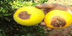 تعرف على أعراض الإصابة بعفن السرة في البرتقال وطرق مكافحته