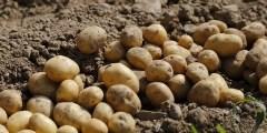 الملوحة واستجابة البطاطس