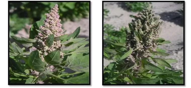 صورة6: الزهرة متكتلة والقطيفية