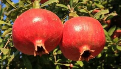 نبذة تاريخية عن نبات الرمان Punica granatum L