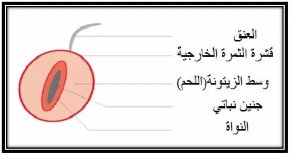 شكل13: المكونات الفیزیائیة لثمرة الزیتون .