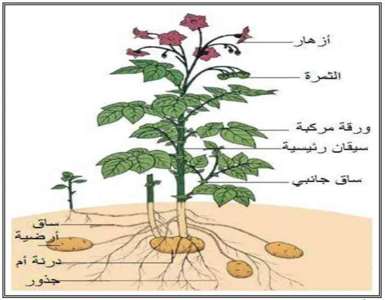 الوثيقة (01): المظهر العام لنبات البطاطا الكامل