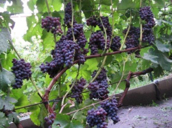Сорт винограда «Юпитер»