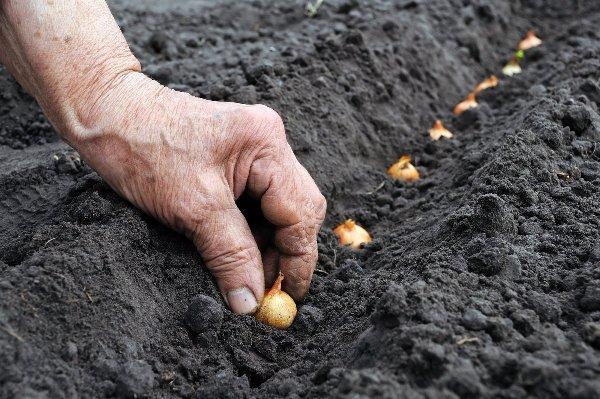 Как посадить лук севок на огороде: выращивание и уход