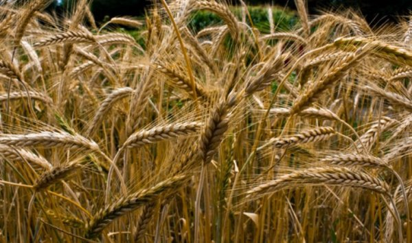 Что такое тритикале и что понадобится для его выращивания