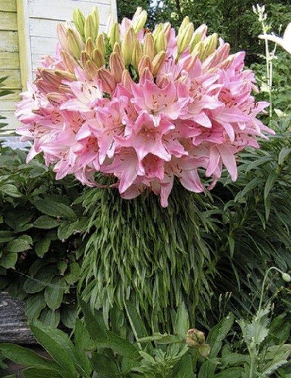 Разнообразие сортов лилии, какую лилию выбрать для своего ...