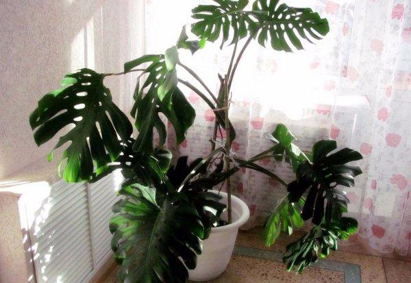 Комнатные лианы: фото и названия растений