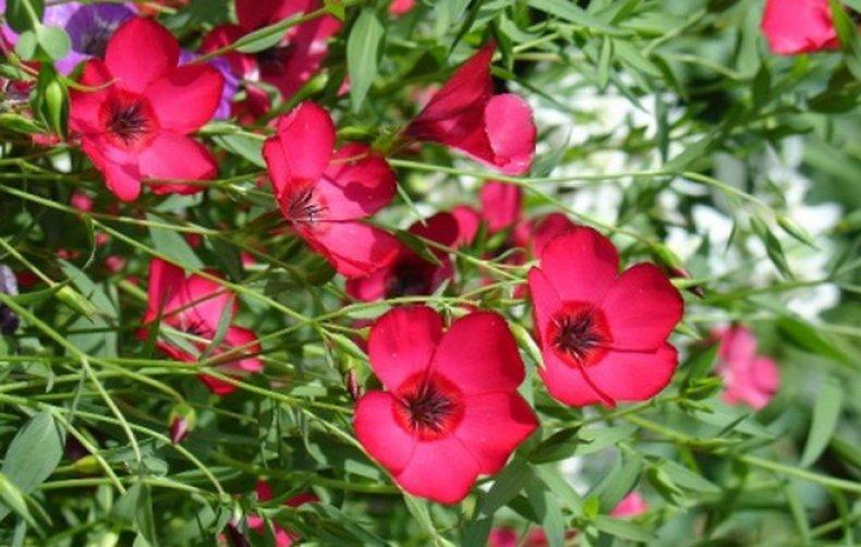 Лен крупноцветковый: посадка и уход