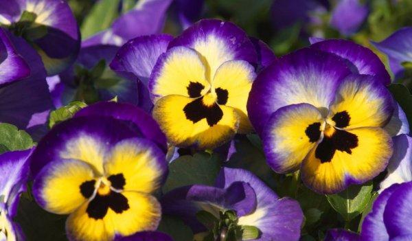 Низкорослые садовые цветы однолетки и многолетние: фото и ...