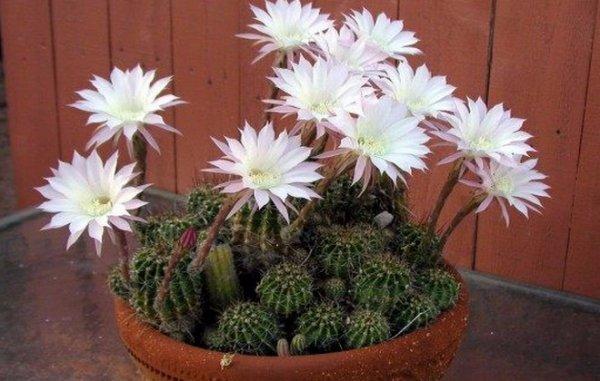 Домашние цветущие кактусы: названия, фото, описание ...