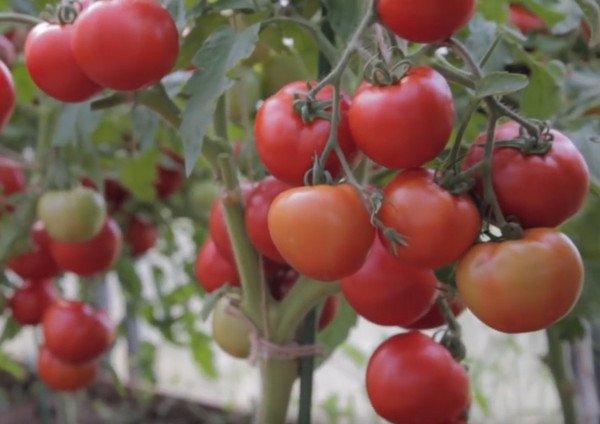 Ультраранний томат Любаша: описание, фото, урожайность ...